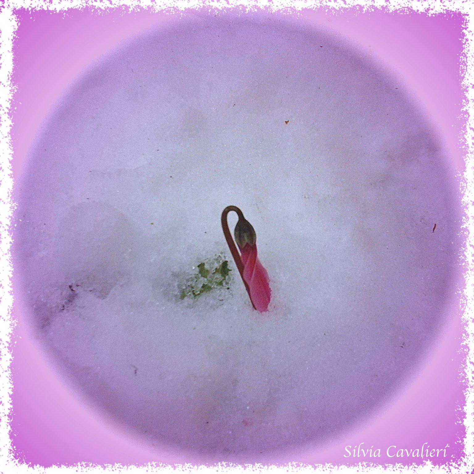 ciclamino neve