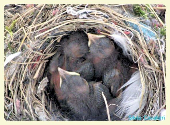 nido di merli