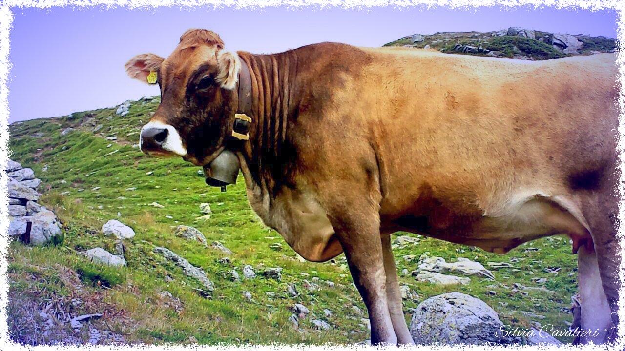 mucca firmata